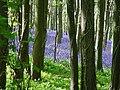 Bluebells at Brenscombe Hill - geograph.org.uk - 124814.jpg