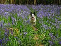 Bluebells in Sweets Wood - geograph.org.uk - 1291038.jpg