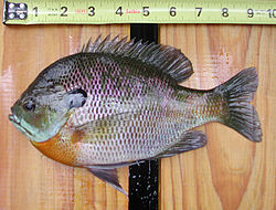 meaning of bluegill