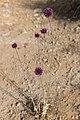 Blumen auf Zypern (43006898234).jpg