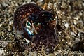 Bobtail Squid (13909489472).jpg
