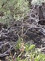 Boechera retrofracta (Arabis holboellii) (4424784478).jpg