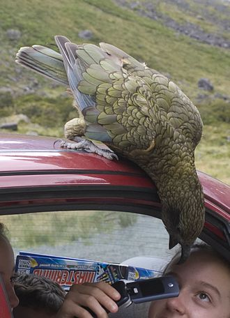 Kea - Kea investigating tourists