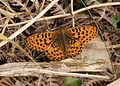 Boloria auphrosyne, Pearl-bordered Fritillary, Eyarth Rocks, North Wales, May 2012 - Flickr - janetgraham84.jpg