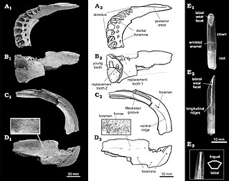 Bonitasaura - Right dentary