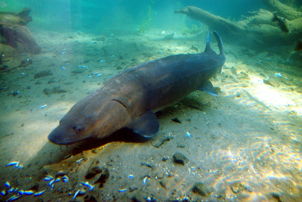 File bonneville fish hatchery sturgeon oregon jpg for Bonneville fish hatchery
