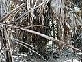 Borassus aethiopum 0075.jpg