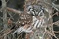 Boreal Owl - Flickr - GregTheBusker (1).jpg