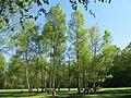 Bosquet de bouleaux du bois de Vaires (avril).jpg