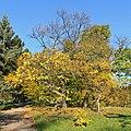 Botanischer Garten Berlin-Dahlem 10-2014 photo03 Catalpa bignonioides.jpg