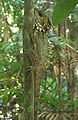 Boyd's Forest Dragon on tree Alt Edit1.jpg