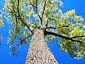 Boyds Big Tree 2.jpg
