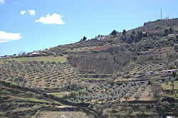 The olive trees in the municipality of Bragança