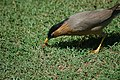 Brahminy starling (17759173783).jpg