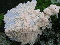 Brefeldia maxima plasmodium on wood.jpg