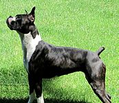 Perro Boxer Atigrado