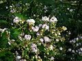 Brombeerblüte (3).jpg