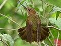 Bronzy Inca (Coeligena coeligena).jpg