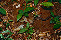 Brown Sipo (Chironius fuscus) (10511131166).jpg