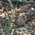 Brown Thrasher (7098676821).jpg