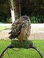 Bubo bubo male at Dunrobin Castle 03.jpg