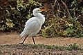 Bubulcus ibis (45879848165).jpg