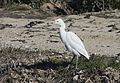Bubulcus ibis - Western Cattle Egret, Mersin 2017-01-22 01-3.jpg