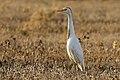 Bubulcus ibis - Western Cattle Egret 14.jpg