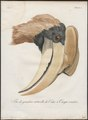 Buceros hydrocorax - kop - 1801 - Print - Iconographia Zoologica - Special Collections University of Amsterdam - UBA01 IZ19300171.tif
