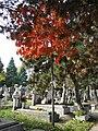 Bucuresti, Romania. Cimitirul Bellu Catolic. Micul stejar cu frunze insangerate. (3).jpg