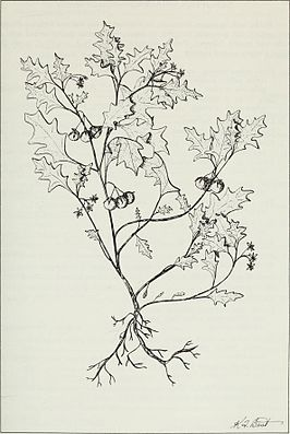 Budd's flora of the Canadian Prairie Provinces (1987) (20411685542).jpg