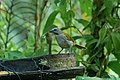 Buff-throated Saltator 2015-06-07 (3) (25446129137).jpg