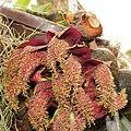 Bulbophyllum phalaenopsis-IMG 2148.jpg