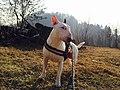 Bull Terrier Standard Maschio - Bianco.jpg