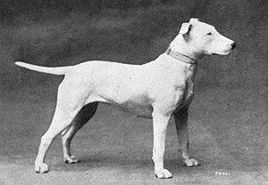 Bull Terrier - A Bull Terrier circa 1915