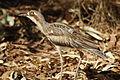 Burhinus grallarius -Alice Springs Desert Park, Northern Territory, Australia-8a (1).jpg