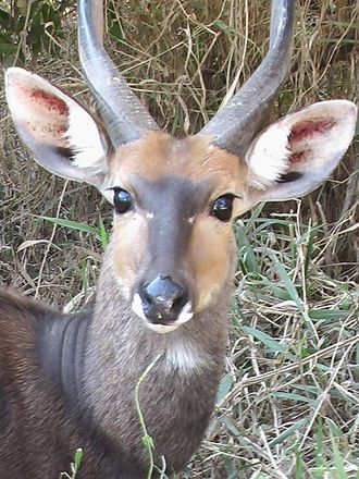 Cape bushbuck - Close-up of an imbabala ram from the Kruger National Park, South Africa