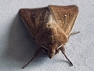 <i>Busseola fusca</i> species of insect
