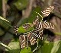 Butterflies - Zebra Longwing (4384532605).jpg