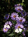 Butterflies and bee on Michaelmas daisies, South Zeal - geograph.org.uk - 989309.jpg