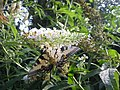 Butterfly Bush Feeding Station - panoramio.jpg
