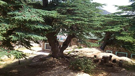 Cedrus of Chelia in the Aures Cedre du Chelia 13 (Algeria).jpg