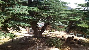 Cèdre du Chélia 13 (Algeria)