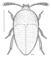 COLE Leiodidae Chelagytodes davidi.png