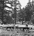 COLLECTIE TROPENMUSEUM Bepakte ezels aan het werk in de bosbouw TMnr 10028624.jpg