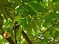 Cacao (2207238298).jpg