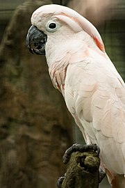 A pink parrot with yellow wings, a red crest, and white eye-spots