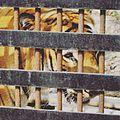 Caged Bengal Tiger.jpg