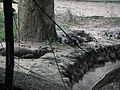 Caiman latirostris from Bannerghatta National Park 8608.JPG