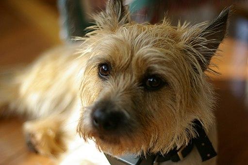 Cairn Terrier CloseUp